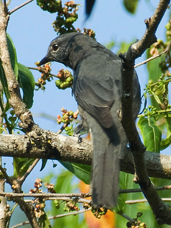 オウチュウカッコウ(Drongo Cuckoo) IMGP104724_R(2)