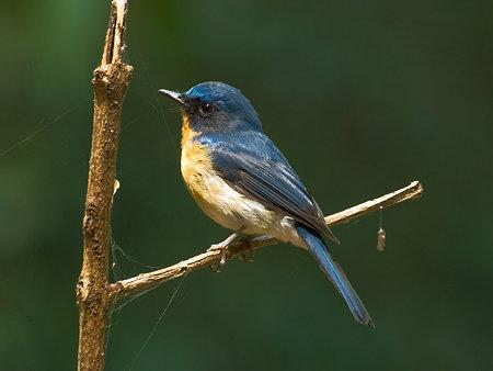 ミヤマヒメアオヒタキ(Hill Blue Flycatcher) IMGP107708_R