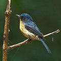 Photos: ミヤマヒメアオヒタキ(Hill Blue Flycatcher) IMGP107708_R