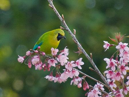 アオバネコノハドリ(Blue-winged Leafbird) IMGP102441_R