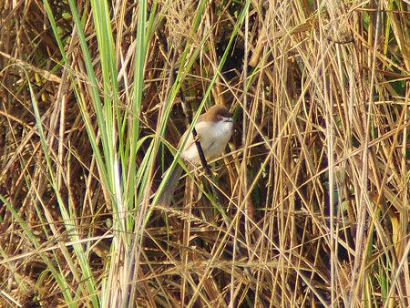 キンメセンニュウチメドリ(Yellow-eyed Babbler) IMGP113763_R
