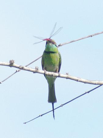 ミドリハチクイ(Green Bee-eater) IMGP114277_R