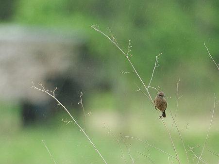 クロノビタキ♀(Pied Bushchat) IMGP114543_R