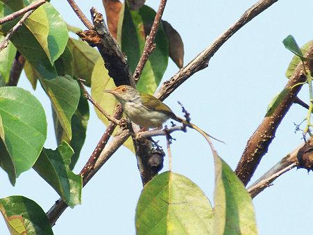 オナガサイホウチョウ(Common Tailorbird) IMGP115387_R2