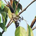 Photos: オナガサイホウチョウ(Common Tailorbird) IMGP115387_R2
