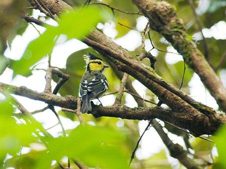 セボシカンムリガラ(Yellow-cheeked Tit) IMGP116149_R