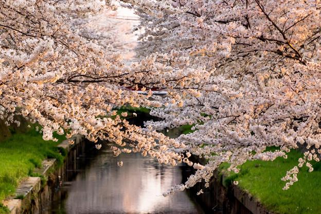 夕日に輝く桜の花