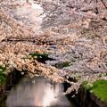 写真: 夕日に輝く桜の花