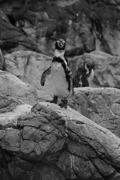ペンギン_4323