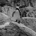 写真: ペンギン_4323