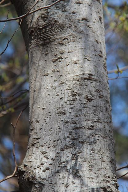 タムシバの樹幹