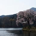 Photos: 湖畔に咲く1本桜