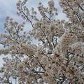 Photos: 桜4