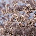 写真: 夕桜4