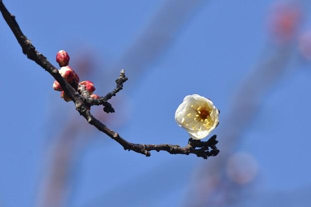 ブルーバックの開花