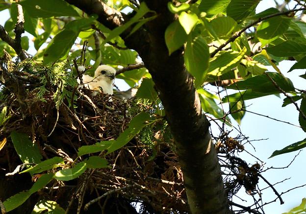 エサを待つ幼鳥