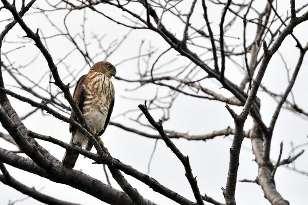 Photos: オオタカの幼鳥