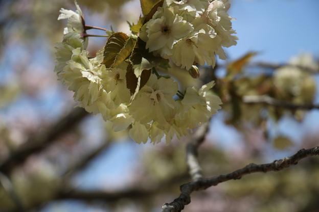 写真: 緑の桜 御衣黄(ギョイコウ)