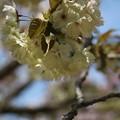 Photos: 緑の桜 御衣黄(ギョイコウ)