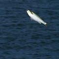 写真: 魚ジャンプ2