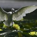 睡蓮と白鷺