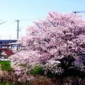 長寿の櫻は神となれ