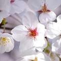 写真: 桜が咲いた22