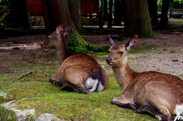 広島旅行記の最後はカメラ目線鹿