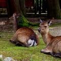 写真: 広島旅行記の最後はカメラ目線鹿