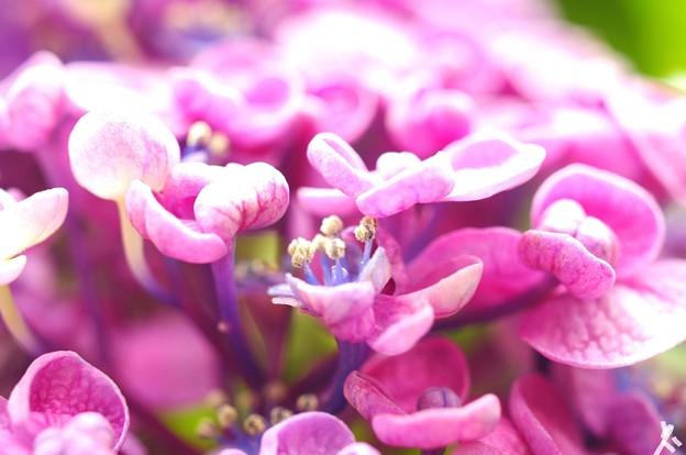 Photos: 園芸種紫陽花