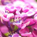 園芸種紫陽花