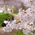 写真: 桜 19