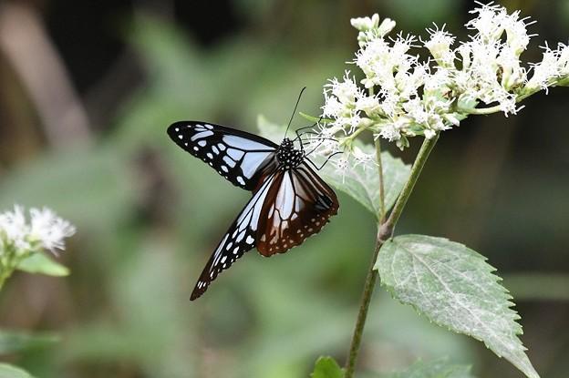 Photos: 海を渡る蝶