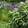 花菖蒲と紫陽花