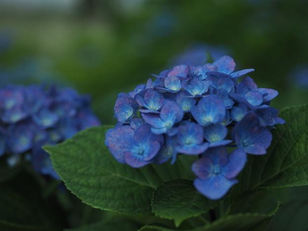Photos: アジサイ