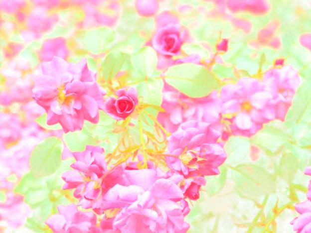 Photos: バラ 水彩画風