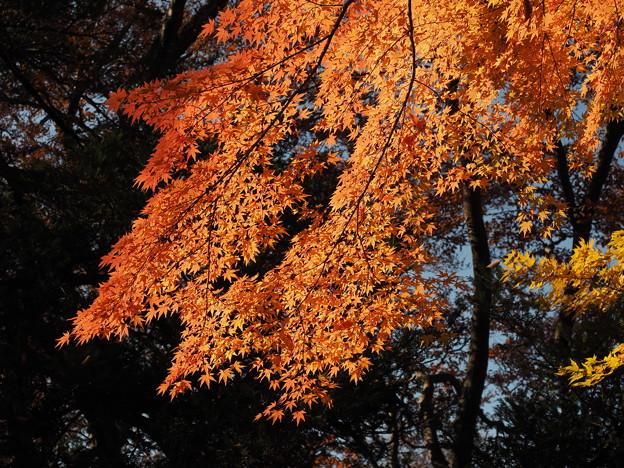 オレンジ紅葉