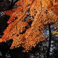 写真: オレンジ紅葉