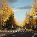 写真: 甲州街道のイチョウ並木