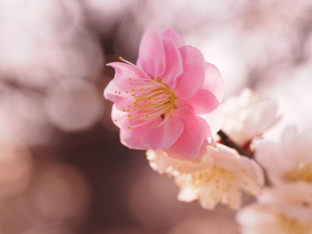 Photos: 紅白咲き