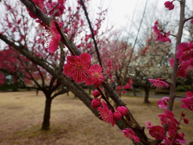 旧制富山高校跡の梅