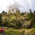 八尾町栃折の桜