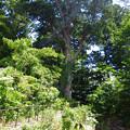 写真: 井波の巨木