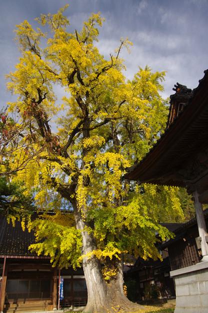 光福寺の大銀杏