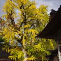 写真: 光福寺の大銀杏
