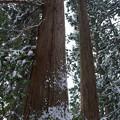 Photos: 神聖な場所には巨木が多い