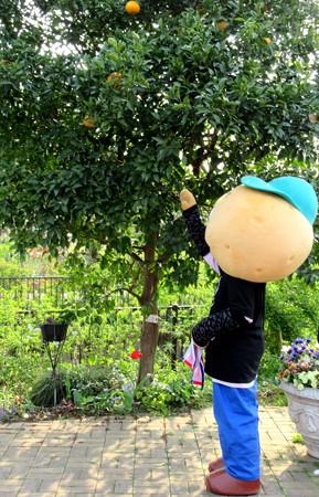 木に実っているミカンを取ろうとする・・ひのじゃがくん