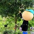 Photos: 木に実っているミカンを取ろうとする・・ひのじゃがくん