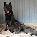 Photos: カメラ目線 我が家の子 親子 甲斐犬