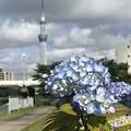 Photos: スカイツリーと紫陽花